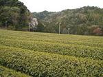 新茶 01504.JPG